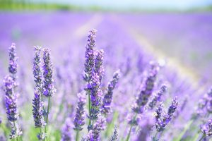 marketing de contenidos lavender-blossom-1595581_1280
